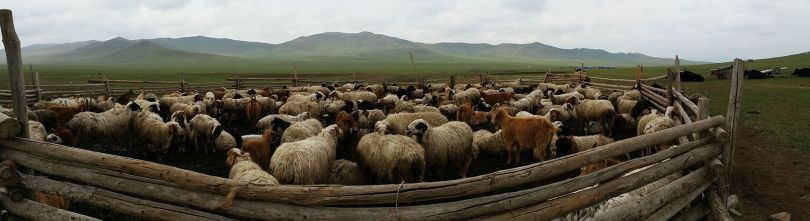 mongolian herd of animals packed in den