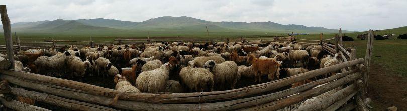 mongolian herd of animals packed in den