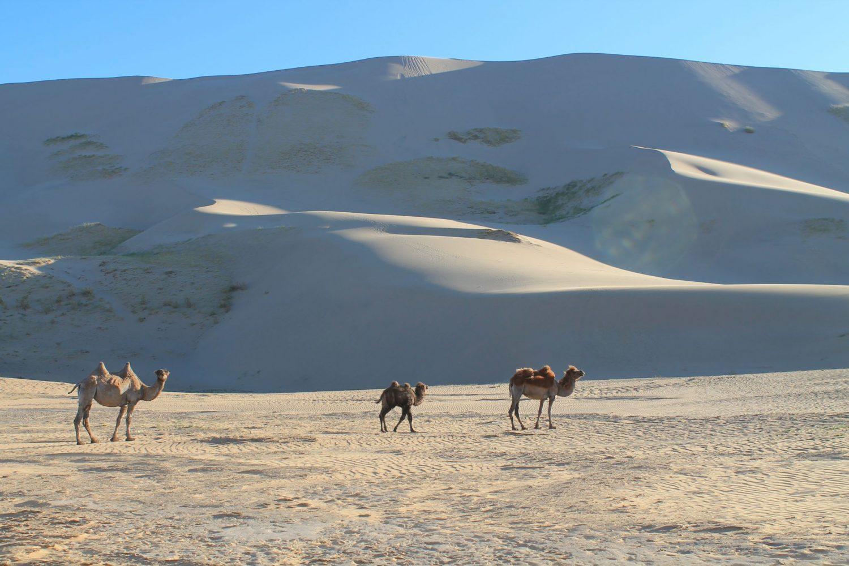 chameaux désert mongol