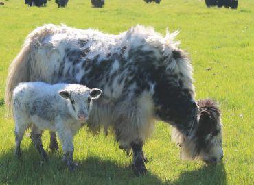 yaks mongol